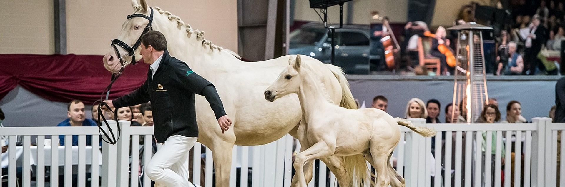 Cichoń Foals Selection & Auction 2020